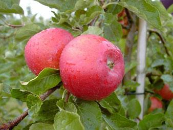 саженцы яблони Вишневая