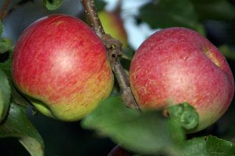 купить саженцы яблони Уэлси