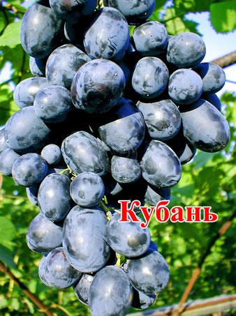 саженцы винограда Кубань