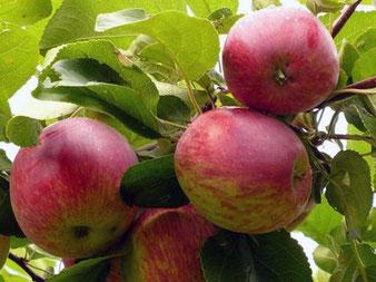 саженцы сорта яблони Орловское Полосатое