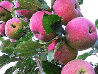 саженцы яблони Мантет