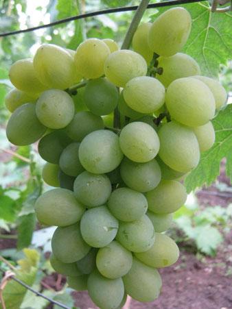купить виноград сорт Элегант Сверхранний в питомнике в Клину