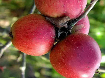где купить районированные саженцы яблонь в Клину?