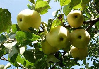 купить недорого в питомнике растений яблоню