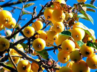 саженцы в Клину,яблони