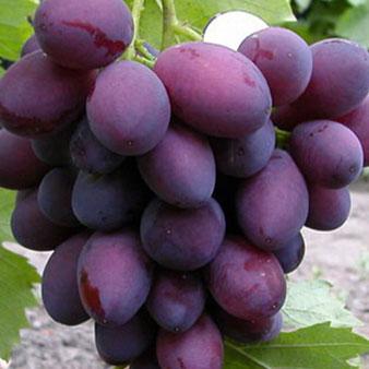 виноград Ассоль,саженцы