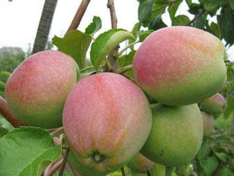 саженцы яблони северный синап в клину