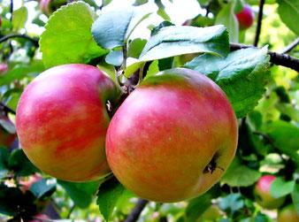 купить яблоню сорта Жигулевское