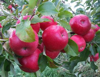 купить районированные яблони в Клину