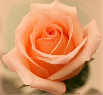 саженцы чайной розы Примадонна