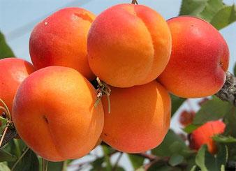 Зимостойкий абрикос