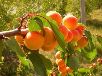 саженцы абрикоса купить в клину