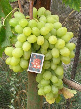 купить в Клину саженцы винограда