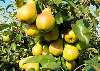 Заказать и купить в Клину районированные саженцы плодовых деревьев,кустарников,а также получить подробные консультации по их выращиванию и ухаживанию за ними вам помогут в нашем питомнике в деревне Елино. www.sajenecklin.com