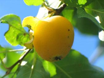 саженцы яблони Золотая китайка