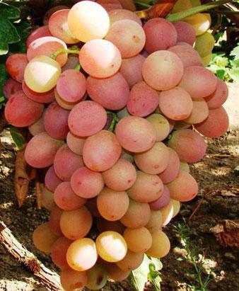саженцы винограда Ливия в Клину
