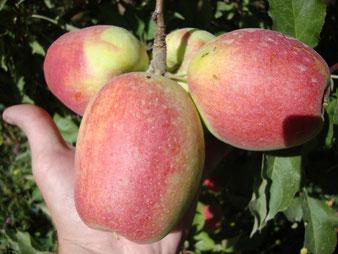 саженцы яблони Кандиль