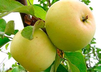 купить саженцы колоновидной яблони