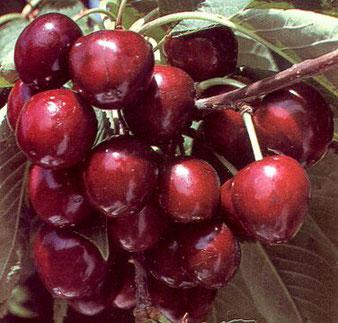 саженцы вишни любской в Клину