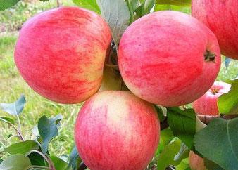 саженцы яблони Пепин Шафранный