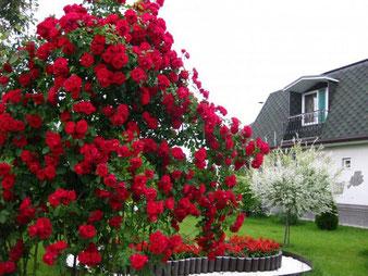 саженцы плетистой розы