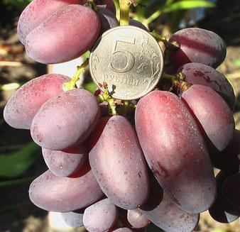 виноград Кабальеро в Клину