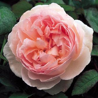 купить саженцы роз Шарифа Асма
