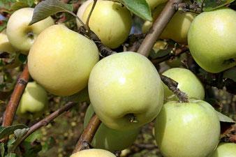 купить яблоню в Клину