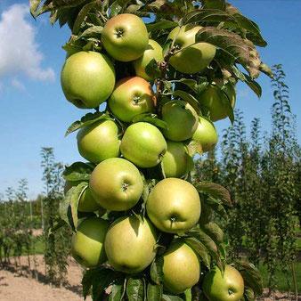 зимостойкие саженцы яблони колоновидной