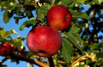 саженцы яблони Бельфлёр Китайка