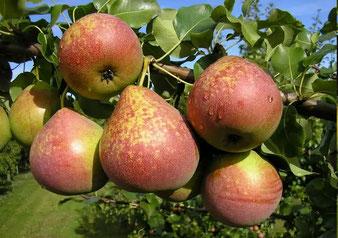 сорт груши Мраморная,деревья в питомнике в Клину