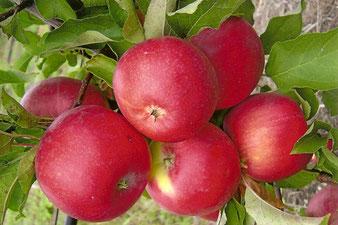 плодовые деревья и кустарники в Клину