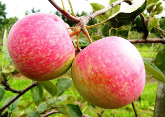 саженцы яблони Конфетное
