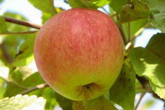 саженцы яблони Штрифель