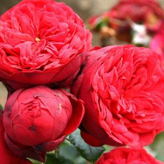 саженцы пионовидной розы Пиано