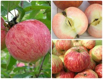плодовые растения,яблони в Клину