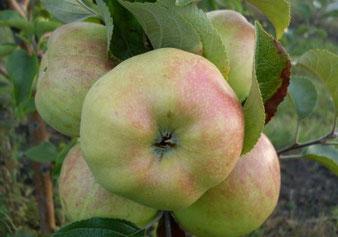 саженцы яблони Богатырь