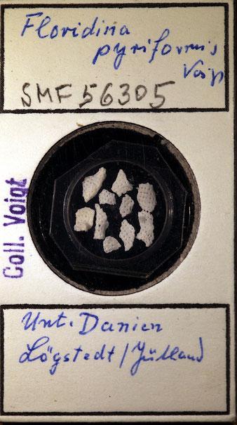 Bild 1 Bryozoa aus Sammlung Senckenberg Frankfurt; CC BY: Dr. Rainer Teubner