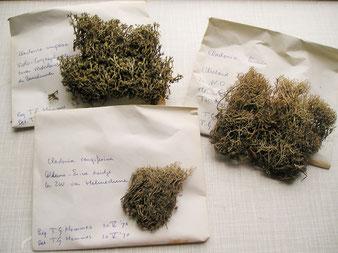 Een onderdeel van de Cladonia collectie