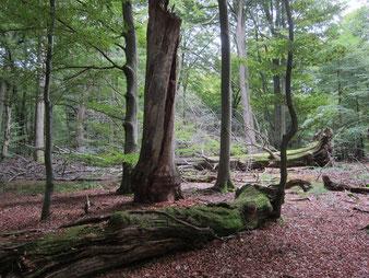 Dead trees in Urwald Wichmanessen, Reinhardswald