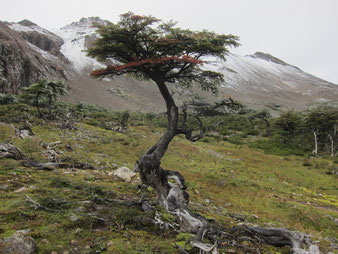 Tree resisting against the beaver, Dientes de Navarino, Chile