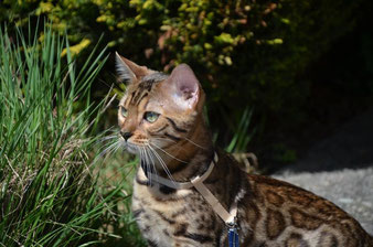 bengalkater imperialgold apollo