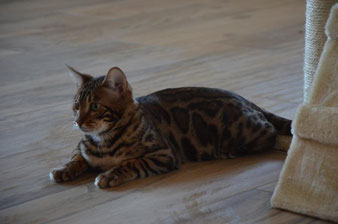 bengalkater imperialgold bengals poseidon