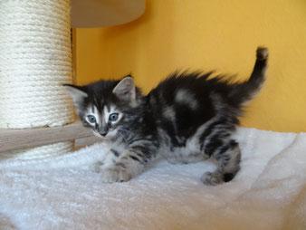 Bella von La- Lea- Lil, Norwegische Waldkatze, amber, 6 Wochen alt.