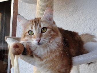 Xenia vom Bergwald, Norwegische Waldkatze, amber-tabby-classic, 11 Monate alt