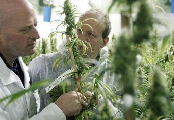 recherche scientifique sur le cannabis médical