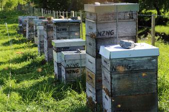 NZ Ngauranga Ltd beehives around Dunedin producing Manuka Honey