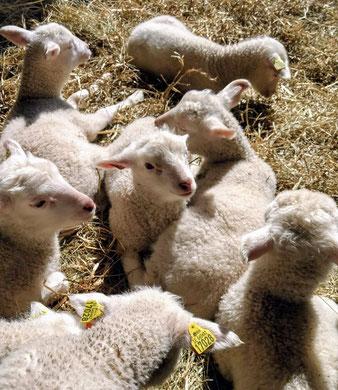 Nyfikna lammungar, producenterna.