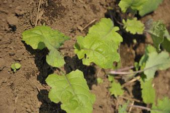 ケール オーガニック 自給菜園 体験農場 農業体験