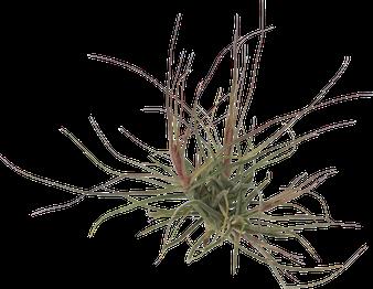 Tillandsia schiedeana touffe